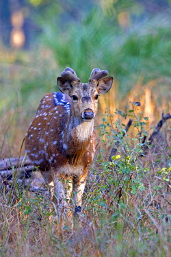 HMS0799308 India, State of Madhya Pradesh, Bandhavgarh National Park, Spotted deer or axis deer, chital or cheetal (Axis axis), male