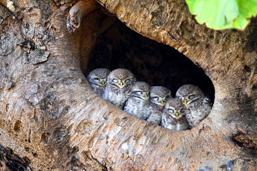 HMS0799334 India, State of Madhya Pradesh, Kanha National Park, Spotted Owlet (Athene brama