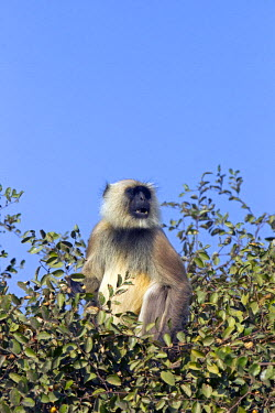 HMS0799342 India, State of Madhya Pradesh, Kanha National Park, Hanuman Langur (Semnopithecus entellus)