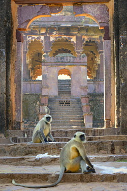 HMS1666448 India, Rajasthan state, hill fort of Rajasthan listed as World Heritage by UNESCO, Ranthambore National Park, Ranthambhore fort, Gray langur monkeys