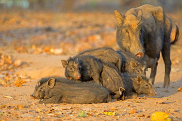 HMS1718001 India, Madhya Pradesh state, Tala, Bandhavgarh National Park, pigs, mother and baby