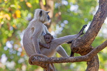 HMS1718013 India, Madhya Pradesh state, Bandhavgarh National Park, Hanuman Langur (Semnopithecus entellus), mother and baby