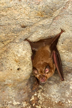 HMS1718028 India, Madhya Pradesh state, Bandhavgarh National Park, Badi Gufa or Ancient Cave of Bandhavgarh, Great Eastern Horseshoe Bat or Woolly Horseshoe Bat (Rhinolophus luctus)