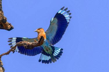 HMS1718071 India, Madhya Pradesh state, Bandhavgarh National Park, Indian Roller (Coracias benghalensis)