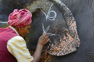 HMS1769695 India, Bihar, Patna region, Sonepur livestock fair, Mahout applying make up to his elephant