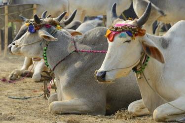 HMS1769737 India, Bihar, Patna region, Sonepur livestock fair, Cattle market