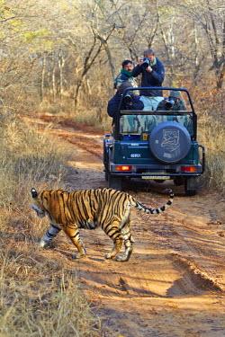 HMS2188070 India, Rajasthan state, Ranthambore National Park, Bengal tiger (Panthera tigris tigris),