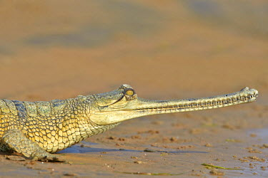 HMS2188090 India, Uttar Pradesh state, Chambal river, Gharial (Gavialis gangeticus), on the sand of the river