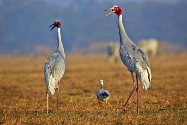 HMS2188098 India, Rajasthan state, Bharatpur, Keoladeo national park, Sarus crane (Grus antigone), with Bar-headed goose (Anser indicus)