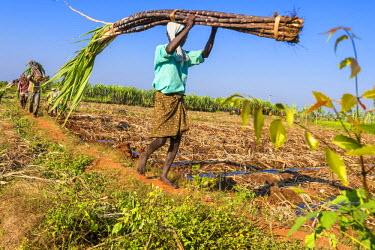 HMS2190701 India, Tamil Nadu state, Karaikudi, collecting sugar cane