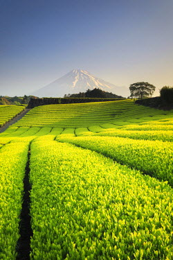 JP03573 Japan, Shizuoka Prefecture, Mt Fuji and Green Tea Plantations