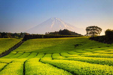 JP03583 Japan, Shizuoka Prefecture, Mt Fuji and Green Tea Plantations