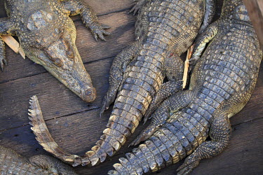 CM02100 Cambodia, Tonle Sap Lake, Chong Kneas floating villages, Crocodile farm