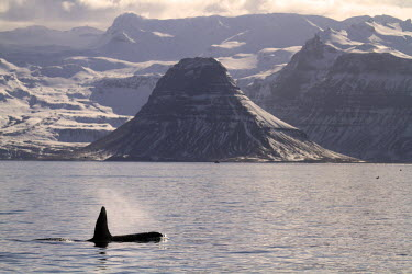 ICE3515 Orcas off the coast of the Snaefellsnes Peninsula, Iceland, with the mountain of Kirkjufell (near Grundarfjordur) in the background, photographed in March