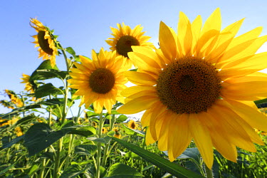 ITA4853 Sunflowers in full bloom during August in a field near Perugia, Umbria, Italy