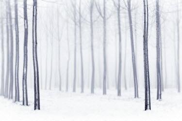 CLKDB18069 Plain Piedmont, Piedmont, Italy. Hoar frost trees