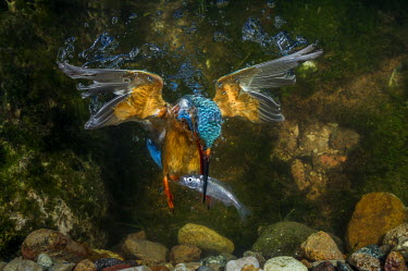 CLKJR20437 kingfisher hunting a fish underwater