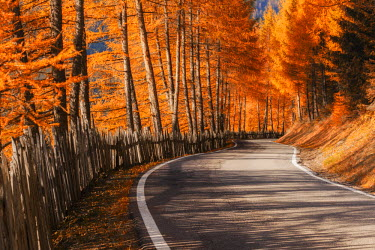 CLKMG13449 The road to the Odle, Val di Funes, Dolomites, delimited by a characteristic wooden fence. To the side the larches in their typical autumn colors.