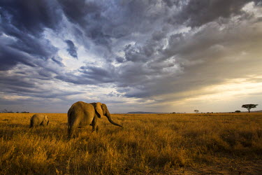 CLKMG14636 An african elephant at sunset in the Serengeti national park, Tanzania, Africa.