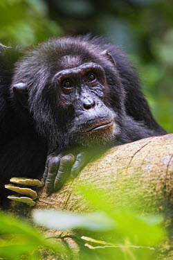 CLKMG15215 A male silverback gorilla in Bwindi, Uganda, Africa.