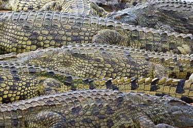 CLKMG16456 Crocodile skin pattern in Kruger National Park, South Africa. Lower Sabie river