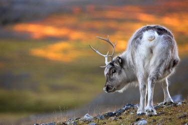 CLKMG9643 Dwarf reindeer of spitsbergen, Svalbard, Norway.