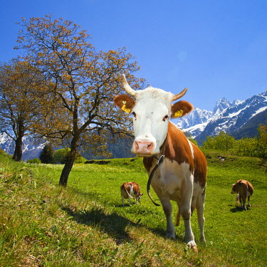 CLKRM4985 A curious and funny cow posing for a photographer in Soglio. Val Bondasca. Valbregaglia. Switzerland. Europe