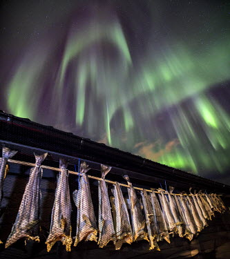 CLKRM7802 The typical Norwegian cod drying in the sun out of a rorbu under an amazing aurora borealis. Rorbu is a traditional type of seasonal house used by fishermen. Lofoten islands. Norway. Europe