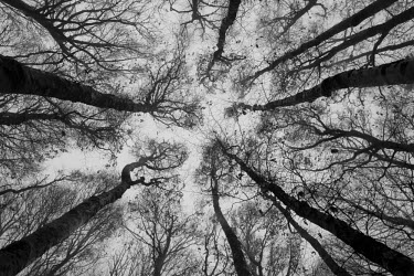 CLKSL17650 Sassofratino Reserve, Foreste Casentinesi National Park, Badia Prataglia, Tuscany, Italy, Europe. Looking up through the trees of the forest in black and white