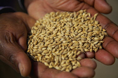 TZ3356AW Hands holding out barley, Arusha, Tanzania, Africa