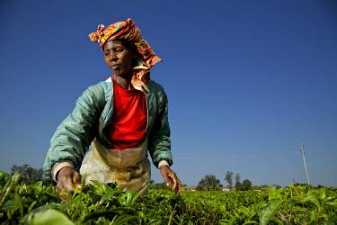 UGA1435AW Woman plucking tea in Masaka, Uganda, Africa