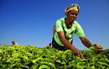 UGA1436AW Woman plucking tea in Masaka, Uganda, Africa