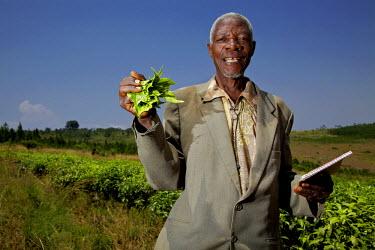 UGA1437AW Man holding plucked tea leaves, Masaka, Uganda, Africa