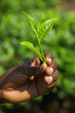 UGA1438AW Plucked tea leaf, Uganda, Africa