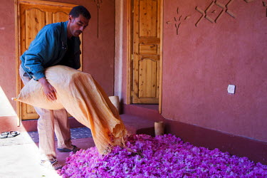 HMS0461445 Morocco, High Atlas, Dades Valley, Rose Valley, village of Hdida, Mohamed El Otmani empties a bag of roses (Rosa Damascena) freshly picked