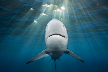HMS1913303 South Africa, Wild Coast, Indian Ocean, Blacktip Shark (Carcharhinus limbatus)