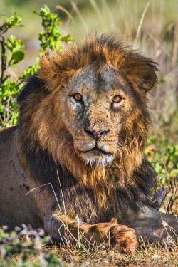 KEN9833 Kenya, Laikipia County, Laikipia. An African Lion.