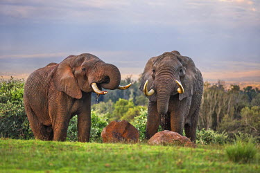 KEN9835 Kenya, Nyeri County, Aberdare National Park. Two bull elephants drink at a waterhole in the late afternoon.