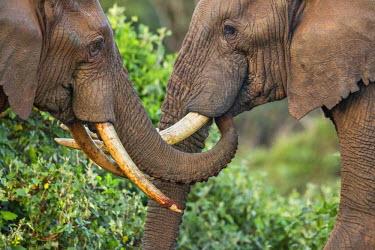 KEN9839 Kenya, Nyeri County, Aberdare National Park. Two bull elephants in a friendly encounter.