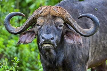 KEN9840 Kenya, Nyeri County, Aberdare National Park. A bull Cape Buffalo.