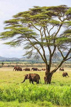 KEN9858 Kenya, Meru County, Lewa Wildlife Conservancy. A herd of elephants near a yellow-barked Acacia tree.