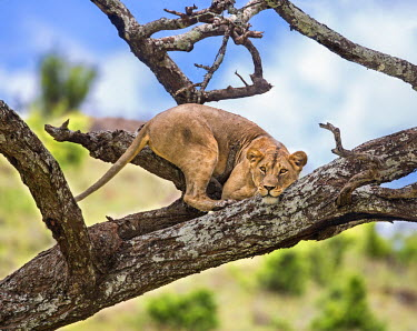 KEN9866 Kenya, Meru County, Lewa Wildlife Conservancy. A Lioness eyeing her potential prey from a vantage point on a dead tree.