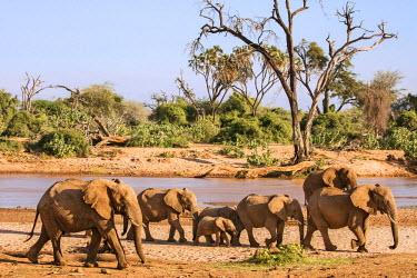 KEN9869 Kenya, Samburu County, Samburu National Reserve. A herd of elephants walks along the banks of the Uaso Nyiru River.