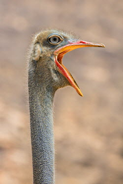 KEN9875 Kenya, Samburu County, Samburu National Reserve. The head and open bill of a male Somali Ostrich.