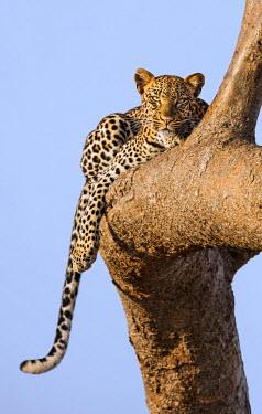 KEN9897 Kenya, Taita-Taveta County, Tsavo East National Park. A Leopard lying on the branch of a tree.