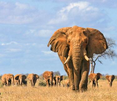 KEN9899 Kenya, Taita-Taveta County, Tsavo East National Park. A fine bull African elephant leads his family herd towards a waterhole.