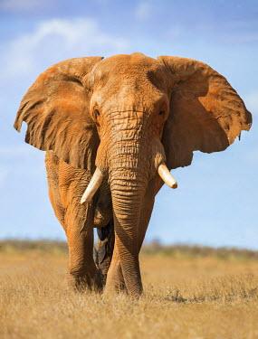 KEN9901 Kenya, Taita-Taveta County, Tsavo East National Park. A fine bull African elephant on the move.