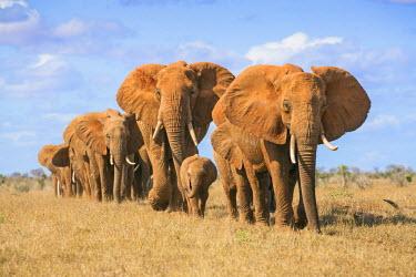 KEN9903 Kenya, Taita-Taveta County, Tsavo East National Park. A herd of African elephants moves in single file.