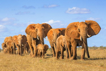 KEN9904 Kenya, Taita-Taveta County, Tsavo East National Park. A herd of African elephants moves in single file.