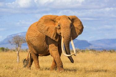 KEN9907 Kenya, Taita-Taveta County, Tsavo East National Park. A female African elephant with fine tusks.
